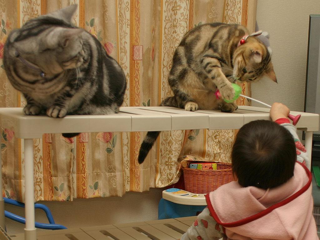 「1日1枚アメショーの写真」ではアメリカンショートヘアー・シルバータビー「タム」とブラウンタビー「クー」、ペルシャ猫・レッドタビー「モグ」の猫画像を公開