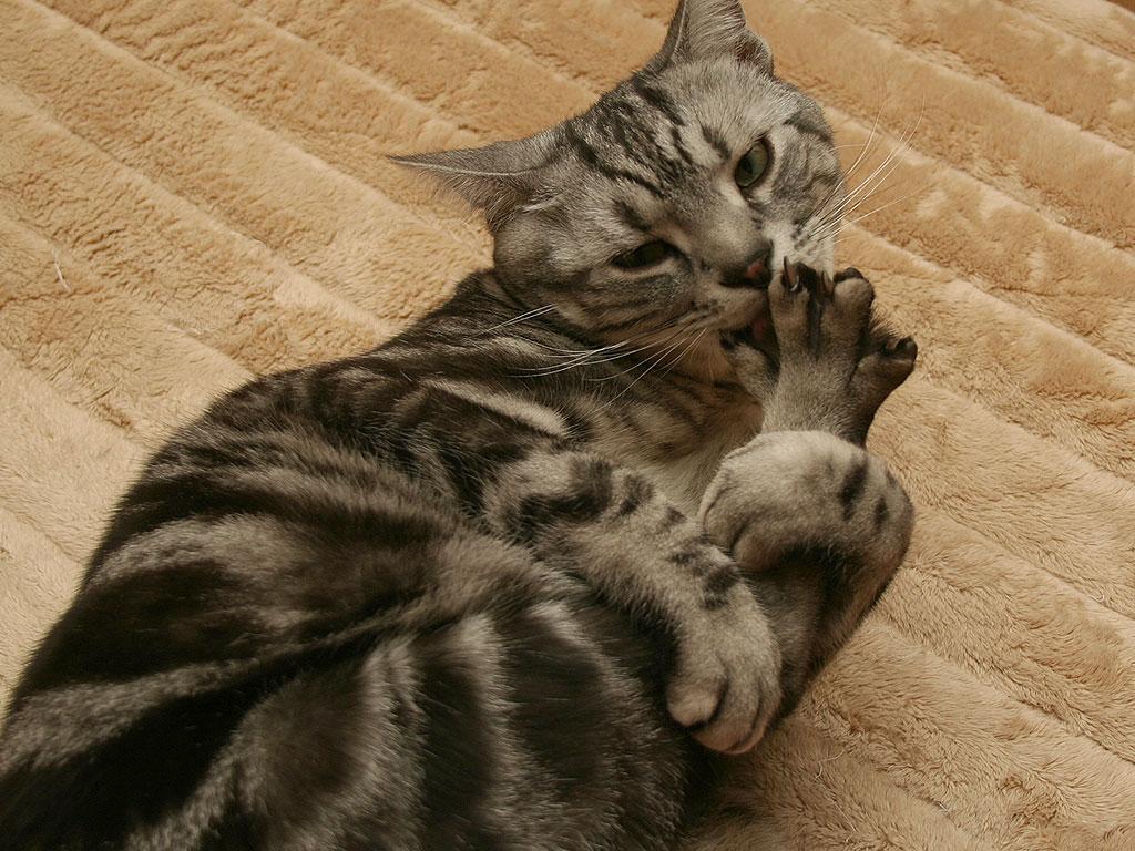 「1日1枚アメショーの写真」アメリカンショートヘアー・シルバータビー&ブラウンタビー、ペルシャ猫・レッドタビーの画像