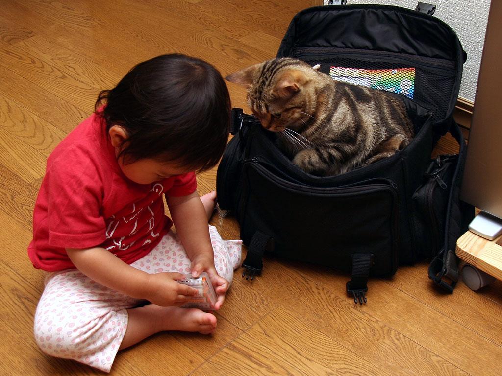 ペルシャ猫のレッドタビー