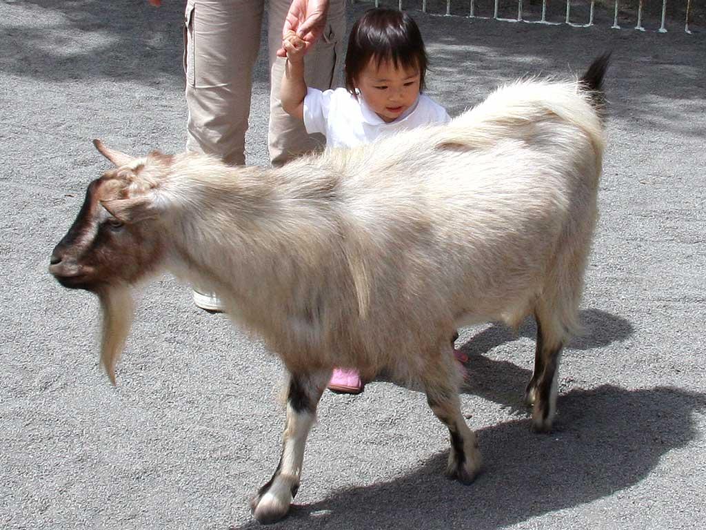 円山動物園のヤギ