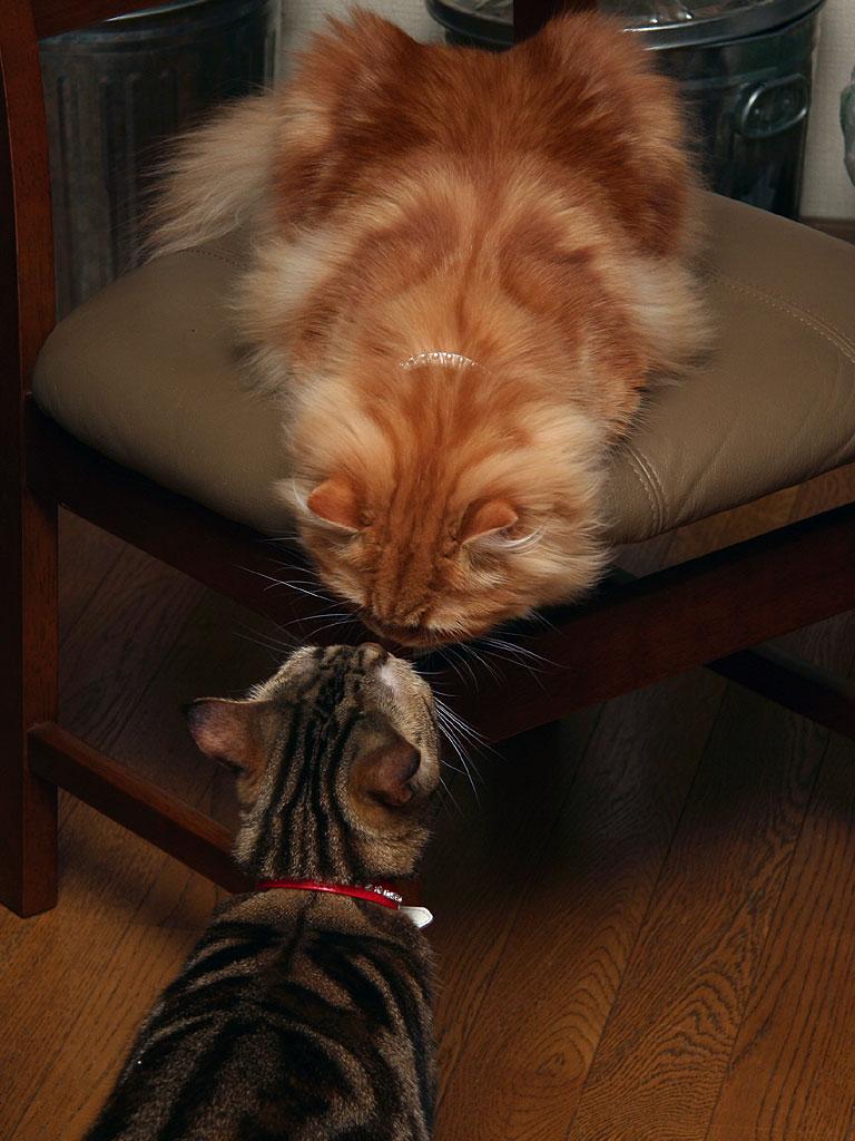 アメリカンショートヘアー・ブラウンタビー、ペルシャ猫・レッドタビー