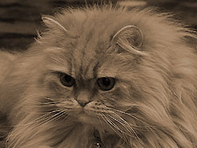 ペルシャ猫・レッドタビー「モグ」